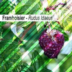 Framboisier bio 30G - feuilles en vrac