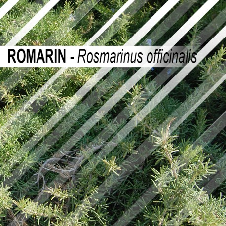 Romarin 30 grammes - feuille entière - Rosmarinus officinalis