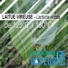 Laitue Vireuse - 30g